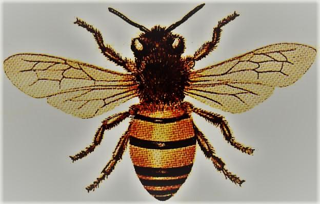 Honey_Bee4